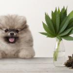 ✅ Guide ultime de l'huile de chanvre CBD pour animaux de compagnie